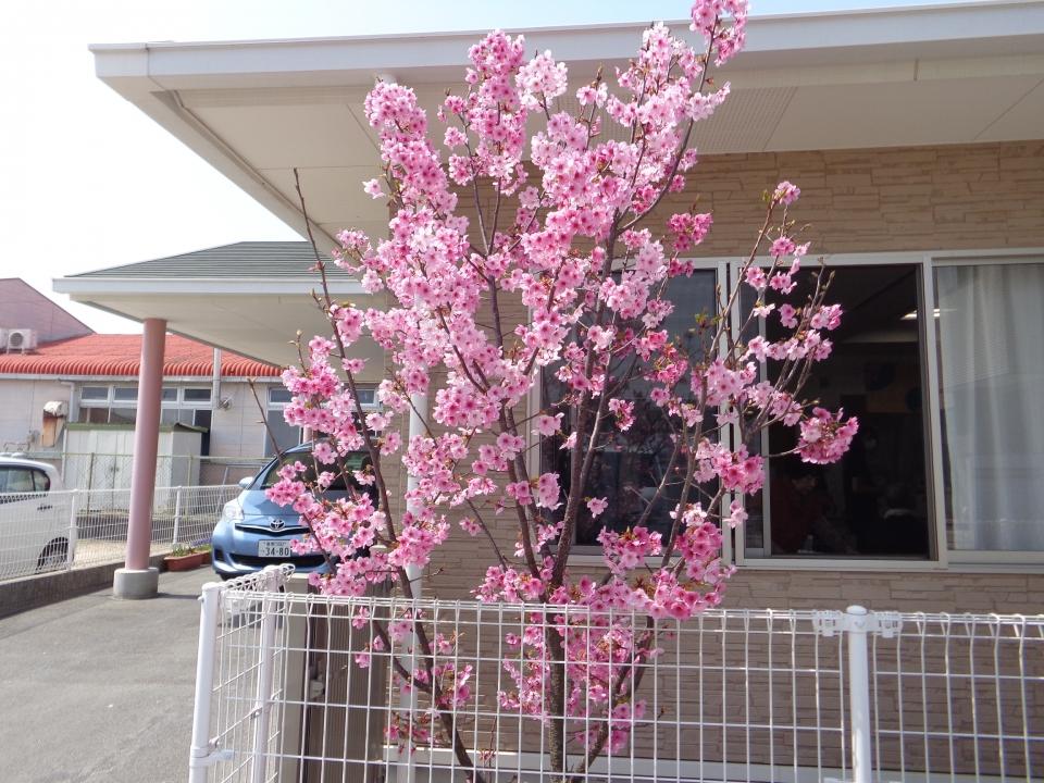 2018年4月 施設に咲いた桜