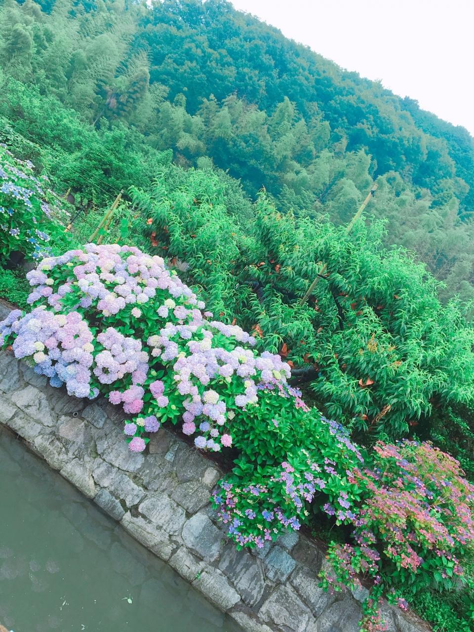2018年6月 紫陽花見学