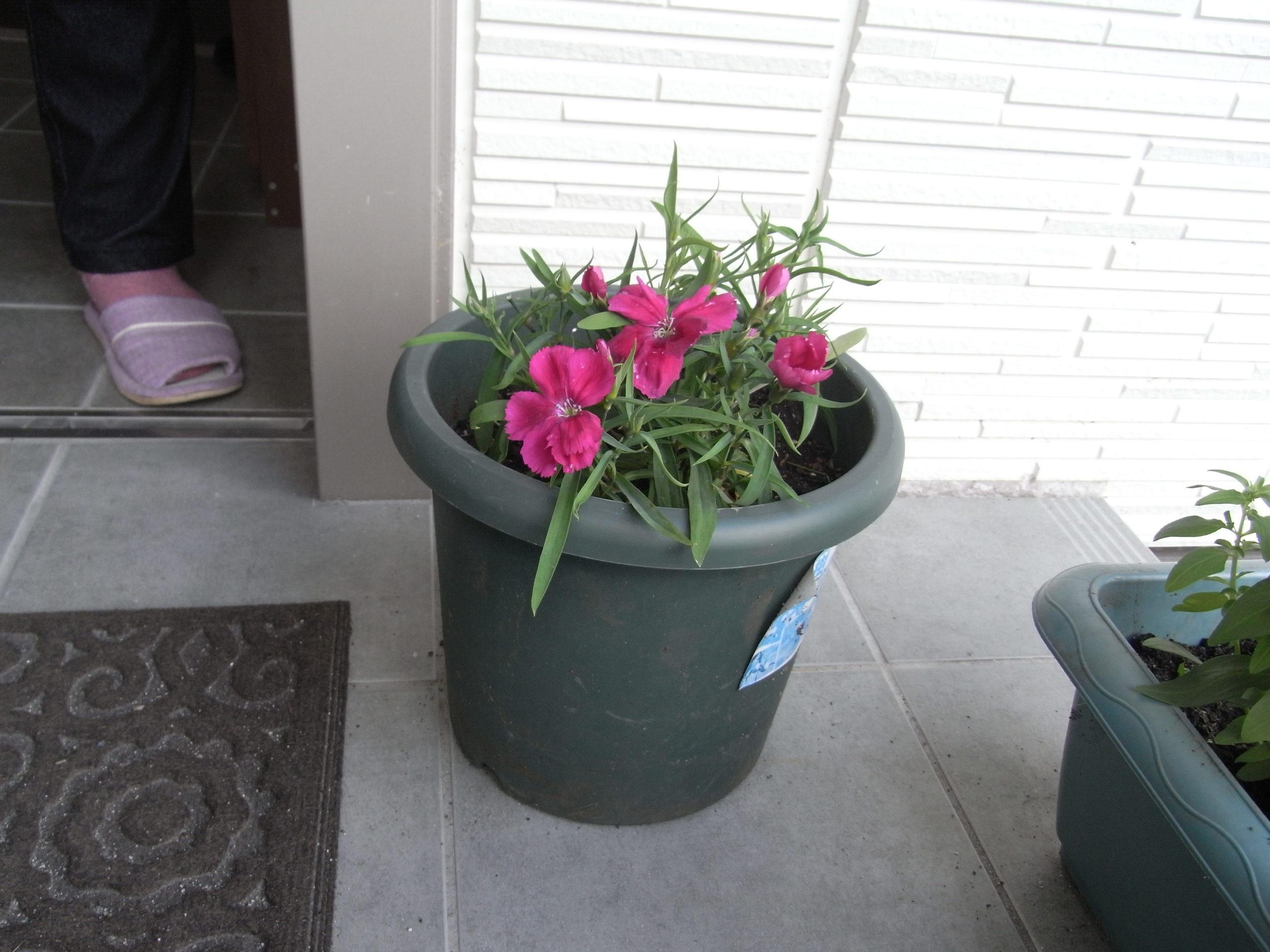 2020年5月「5月です。春です。玄関の花が咲きました。」